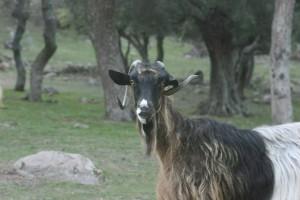http://momfatale.gr/ κατσίκι goat