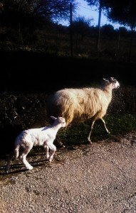 sheep and lamb samothraki
