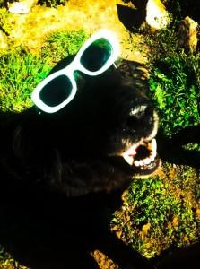 poka black cocker in sunglasses