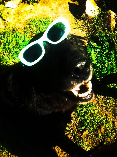 poka black cocker in sunglasses