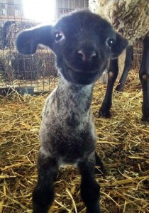 photogenic-lamb