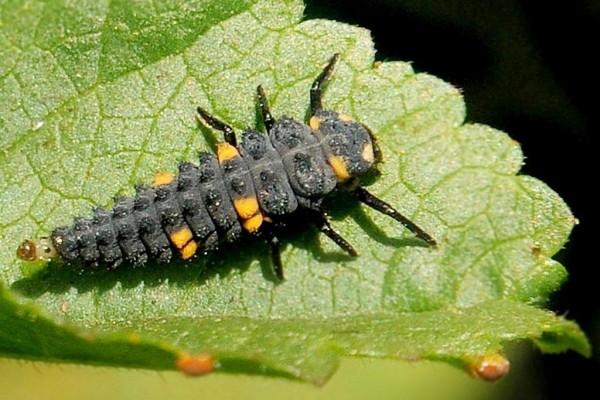 ladybug-larva-on-a-leaf