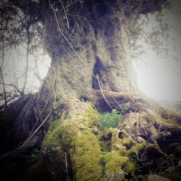 samothraki old tree